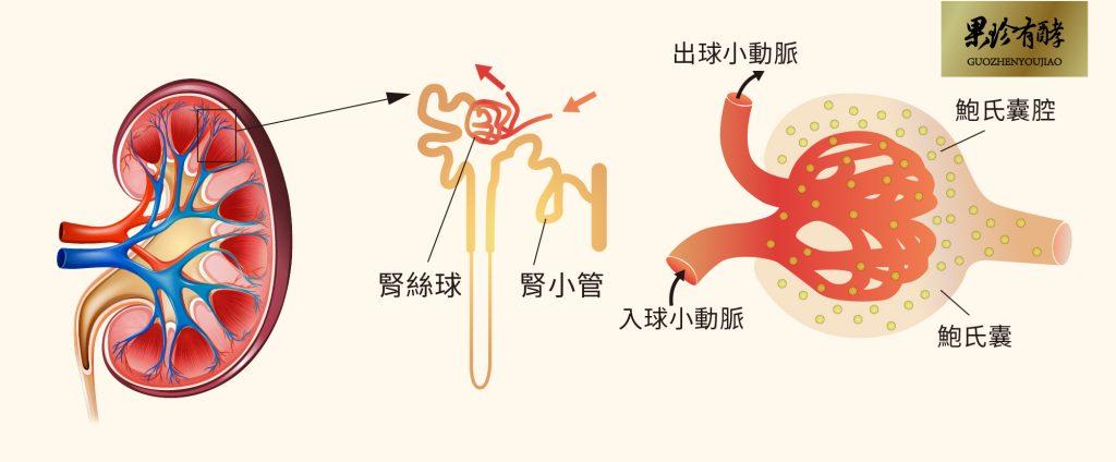 腎臟過濾放大圖