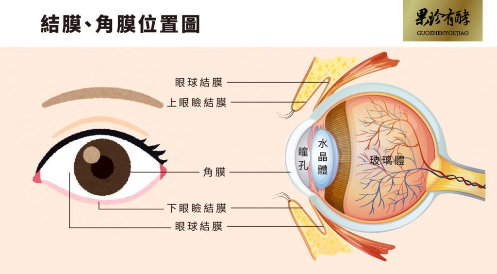 結膜、角膜位置圖