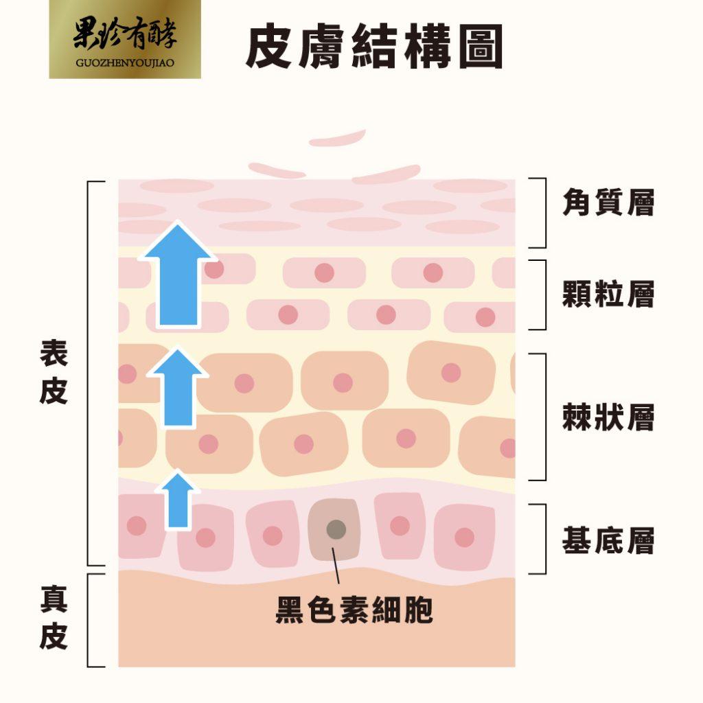 皮膚結構圖