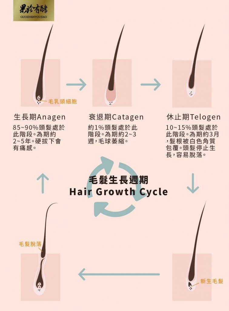 毛髮生長週期