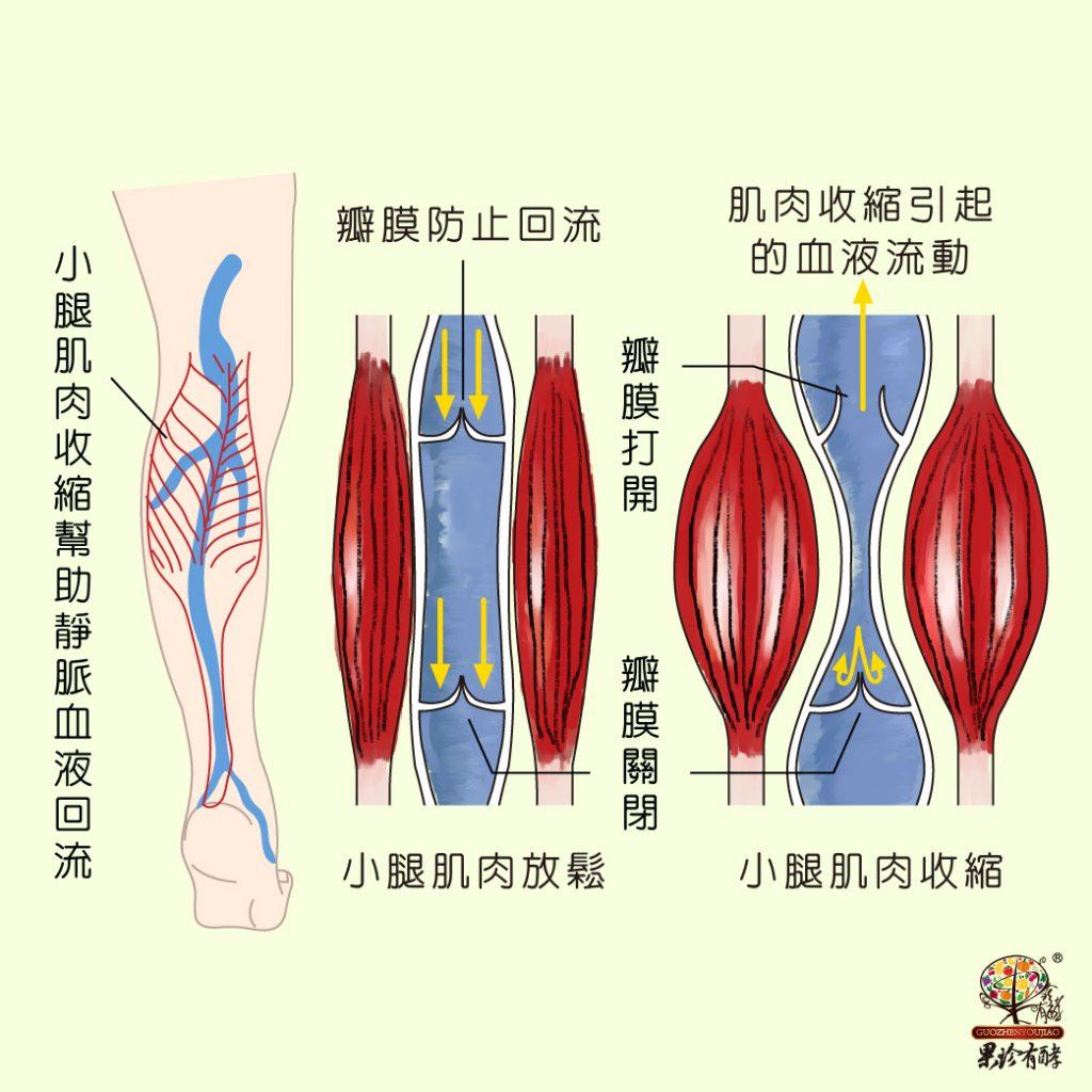 肌肉幫助靜脈血液回流