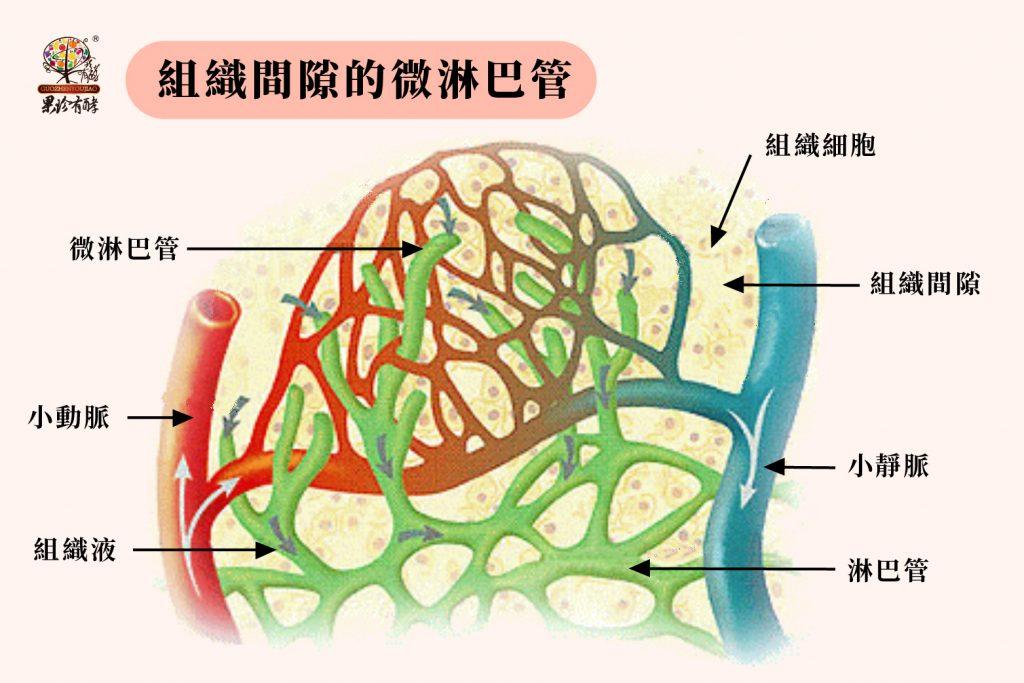 組織間隙的微淋巴管